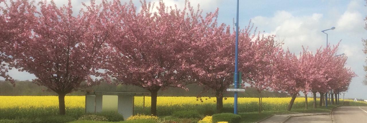 cerisier_fleur_2